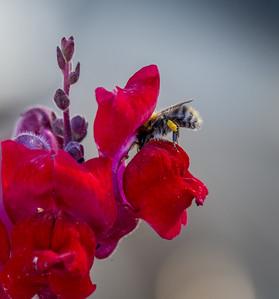 Honeybee and Snapdragon