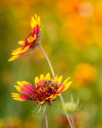 Honeybee and Indian Blanket flower
