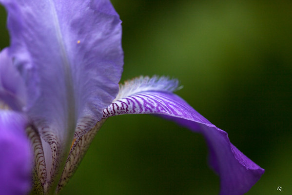 Bearded Iris abstract