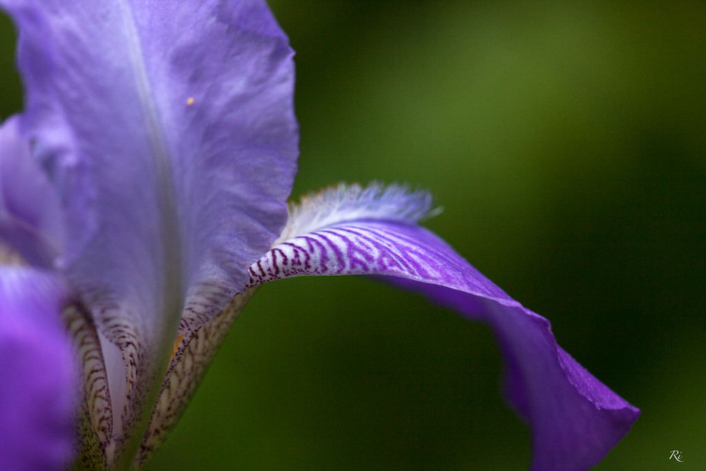 Bearded Iris abstract