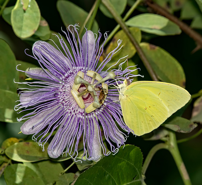 Cloudless Sulphur on Purple Passion Flower
