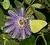 Cloudless Sulphur on Purple Passion Flower