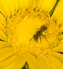 Bee on Gumweed