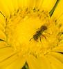 Bee on Gumweed