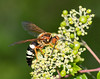 Cicida Killer Wasp
