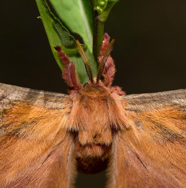 Promethea Moth (Callosamia promethea)
