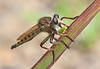 Robber Fly with lunch