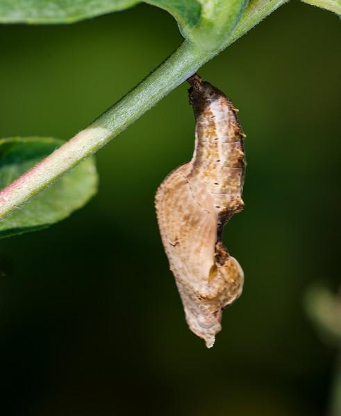 Gulf Fritillary Buterfly chrysalis