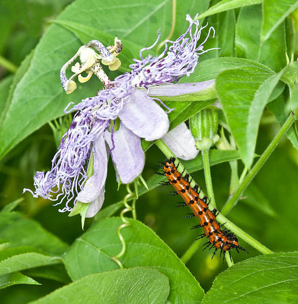 Gulf Fritillary caterpillar on its host plant the Passionflower (Passiflora incarnata)