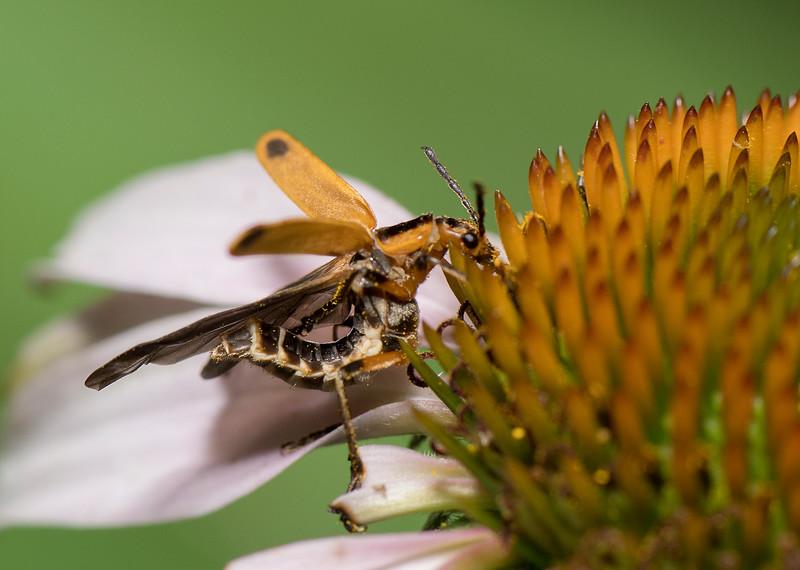 Goldenrod Soldier Beetle (Chauliognathus marginatus)
