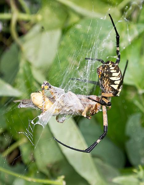 Black and Yellow Garden Spider with grasshopper