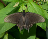 Pipevine Swallowtail female