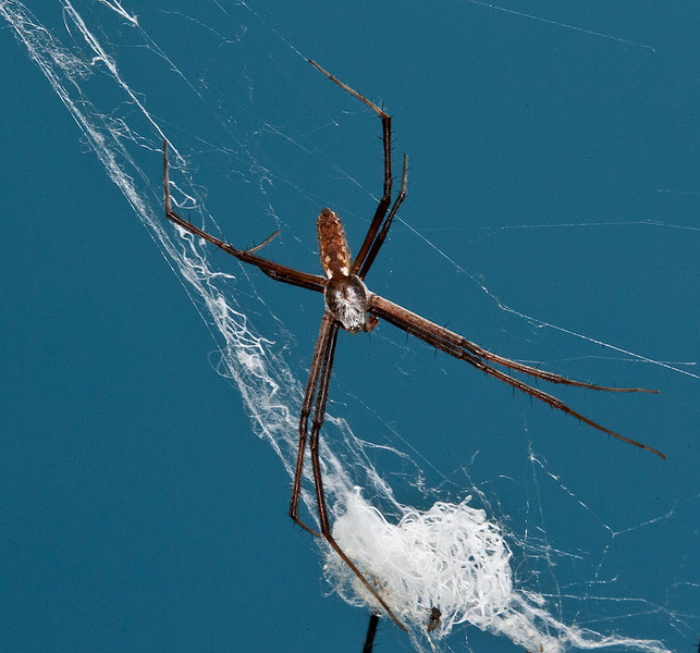 Male Black and Yellow Garden Spider