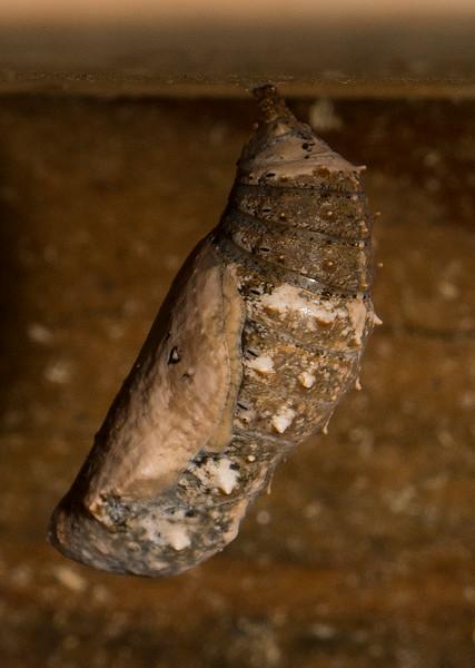 Common Buckeye chrysalis