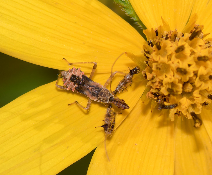 Spined Assassin Bug nymph (Sinea diadema)