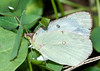 Cloudy X Orange Sulphur laying egg