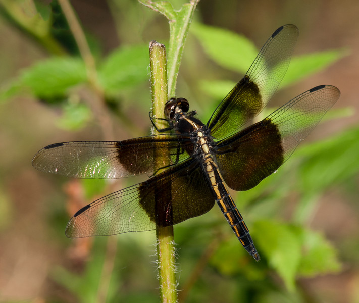 Widow Skimmer (Libellula luctuosa) female