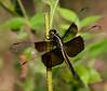 Widow Skimmer (Libellula luctuosa) female