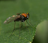 Fly (Condylostylus)