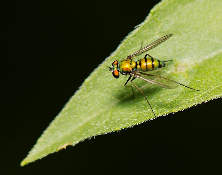 Longed Legged Fly