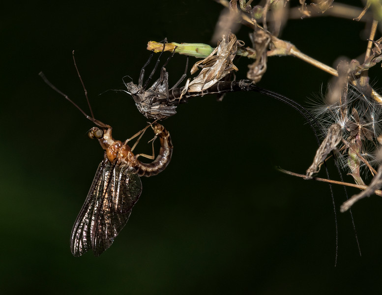 Willowfly shedding its skin