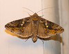Autographa precationis – Common Looper Moth