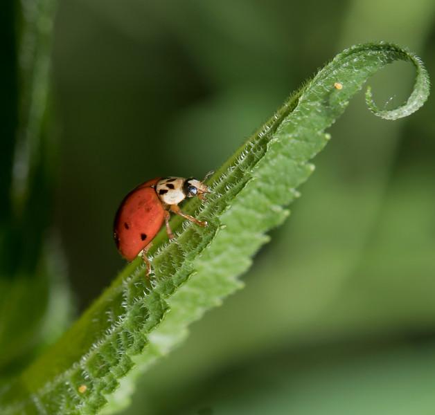 Ladybug hunting aphids