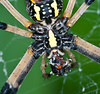Female Black and Yellow Garden Spider eating