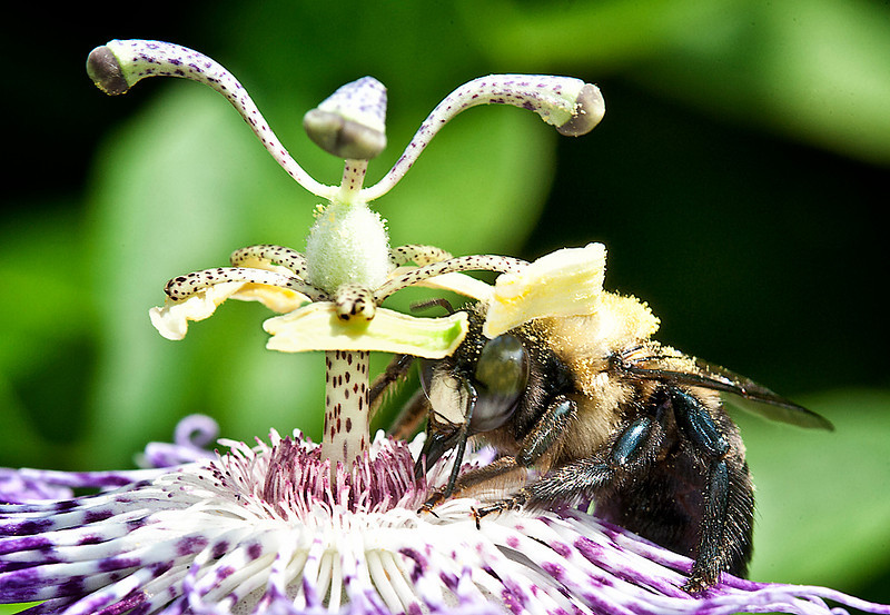 Bumblebee on Passionflower (Passiflora incarnata)