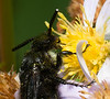 Banded Wasp