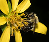 Bumble Bee on Rosin Weed