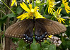 Eastern Tiger Swallowtail female dark form