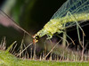 Green Lacewing (Chrysoperla rufilabris)