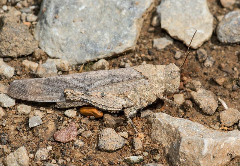 Grasshopper in rock camo