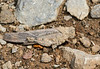 Grasshopper in rock camo