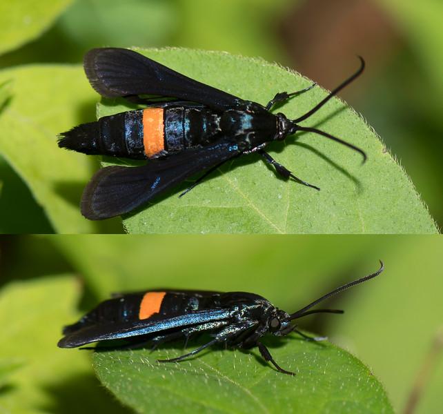 Peachtree Borer Moth female (Synanthedon exitiosa)