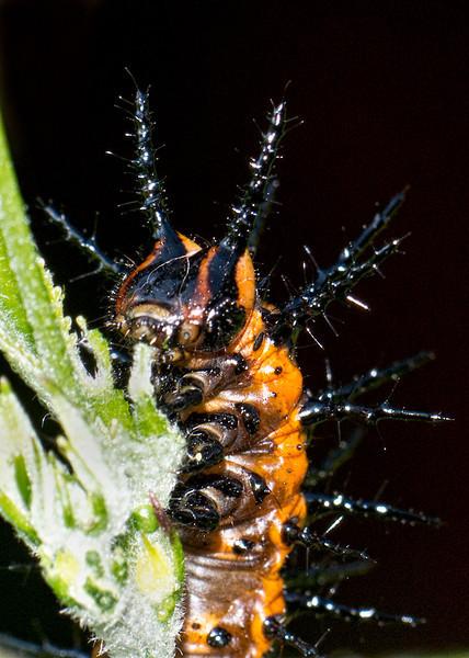 Gulf Fritillary Butterfly caterpillar eating