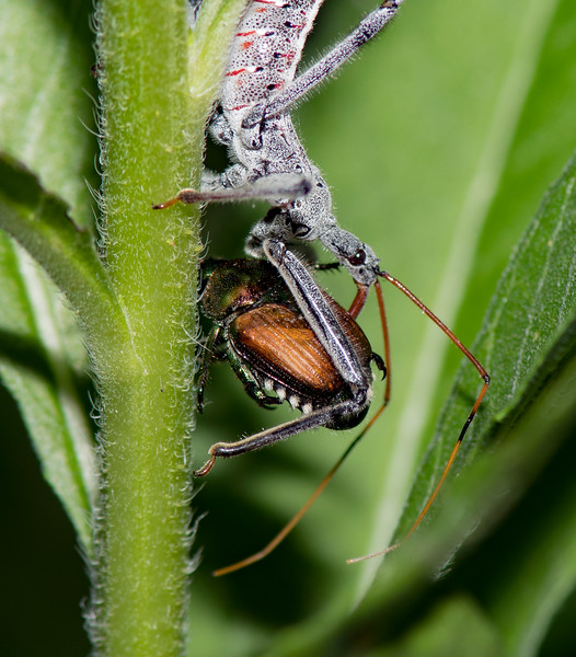Nymph of the Wheel Bug (Arilus cristatus) with a Japanese Beetle