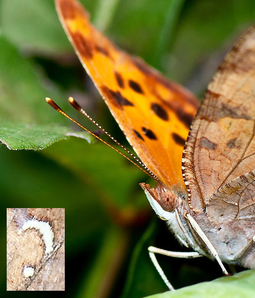 Question Mark Butterfly and the question mark on the underside of its wing that gives it the common name