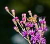 Honeybee on Tall Ironweed
