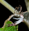 Spider shedding its exoskeleton