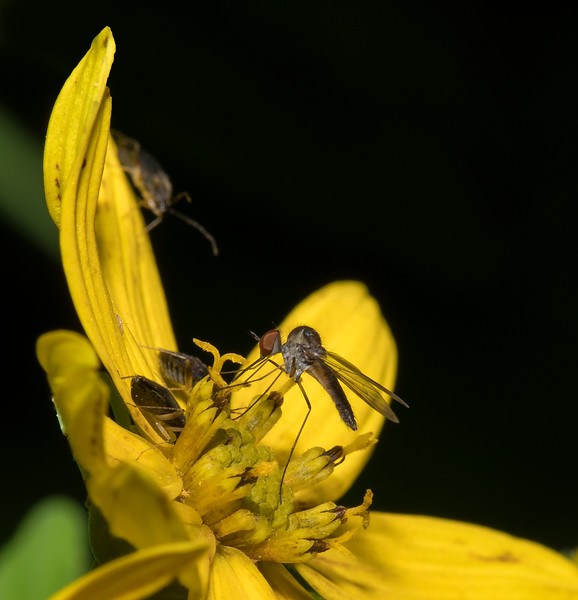 Dance Fly (Empidoidea)