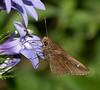Clouded Skipper on Lobelia