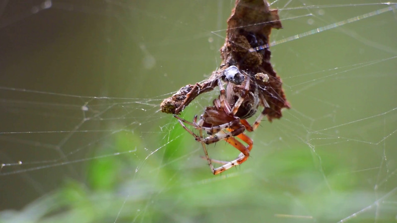 Cross Orbweaver Spider