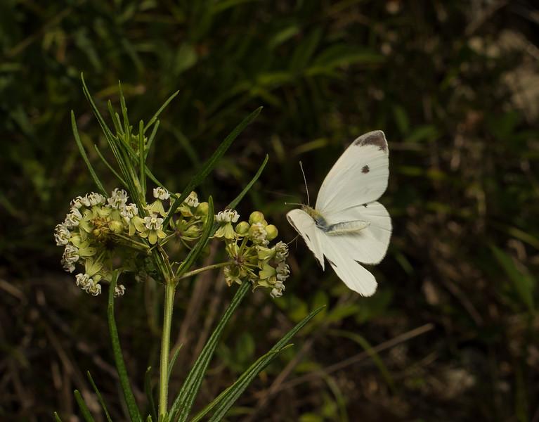 Cabbage White on Whorled Milkweed