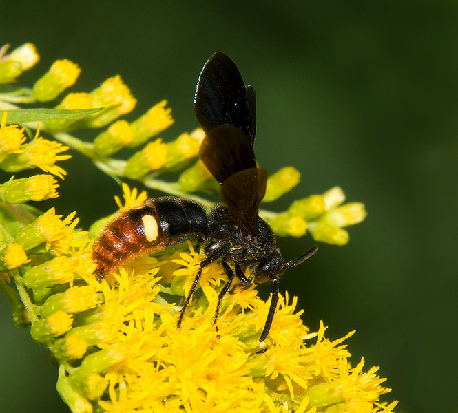 Digger Wasp, also called Blue Winged Wasp