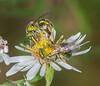 Metallic Green Bees ( Augochlora pura)