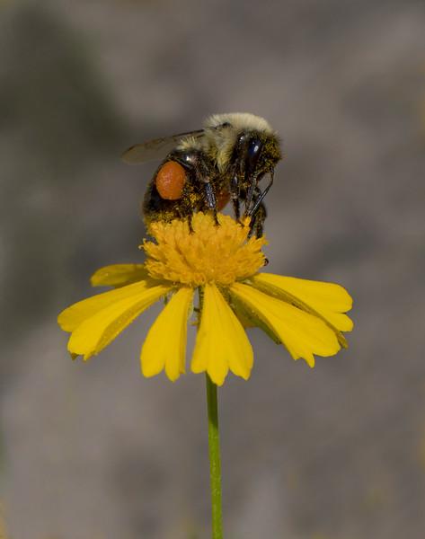 Bee on Sneezeweed