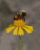 Bee on Sneezeweed