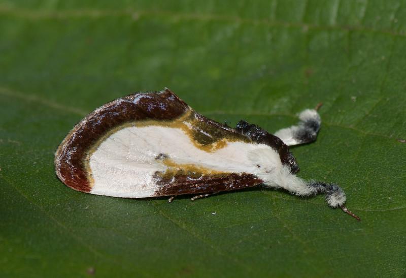 Beautiful Wood nympth (Eudryas grata)
